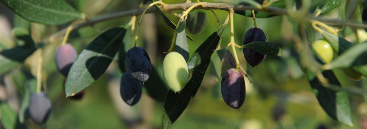 Cilento olives